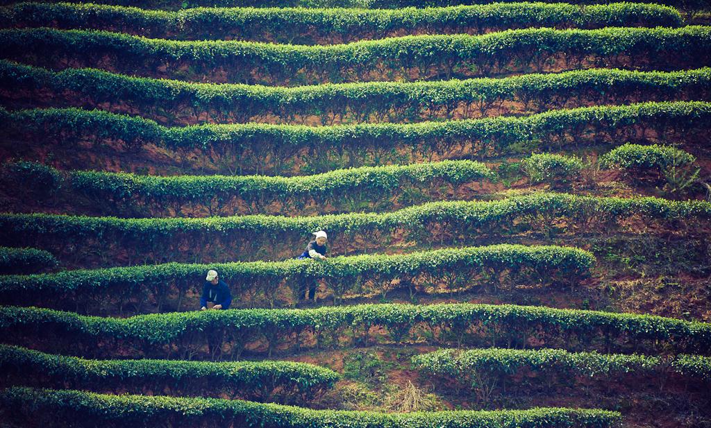 10. Китайские чайные плантации, в отличие от аналогов на Шри-Ланке, не такие изумрудно-зеленые.