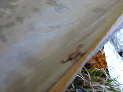 скорпион заполз в палатку в сербии