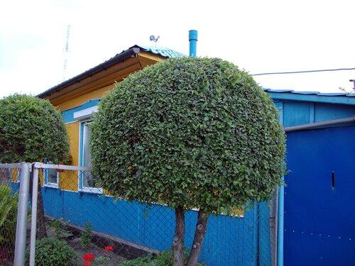 20110606 - Стрижка деревьев14