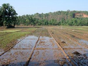 Через 5–10 лет в Приморье негде будет выращивать рис