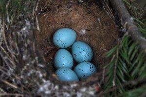 Гнездо певчего дрозда (Turdus philomelos)Альбом: Из жизни птиц