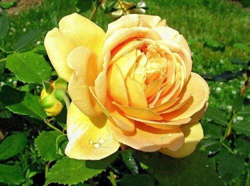 Солнечная роза