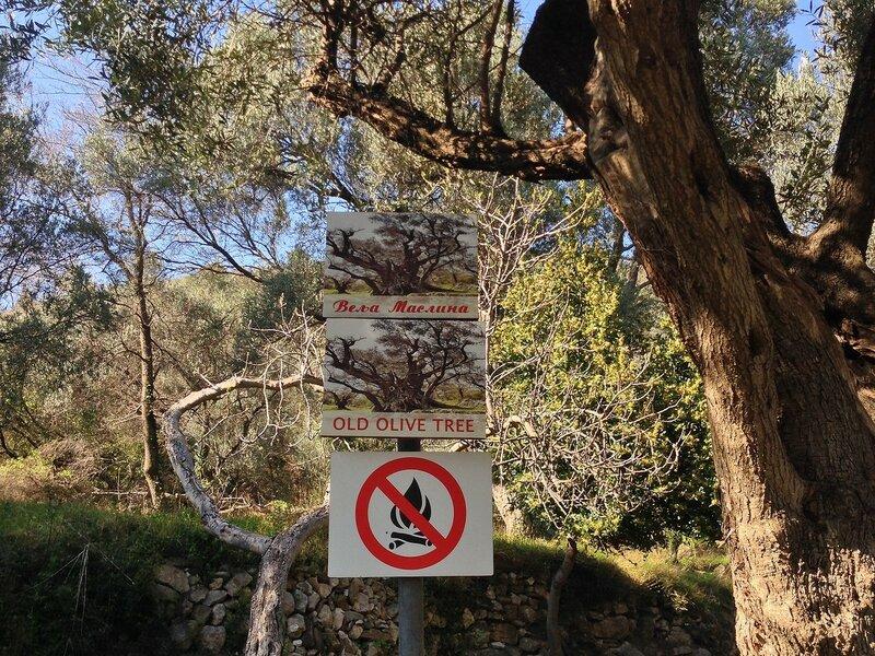 старая маслина Ивановичи