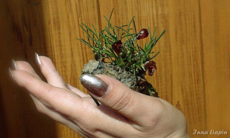 Maxillaria vernicosa