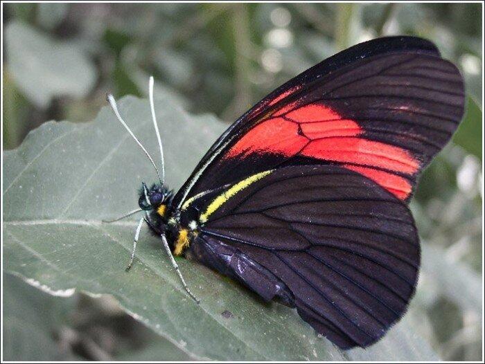 ...окраска крыльев у типичных представителей семейства белянок либо белая (капустница), либо жёлтая (лимонница)...
