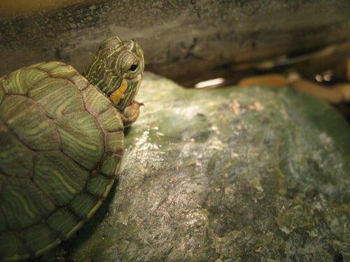 Черепахи красноухие в домашних условиях впадают ли в спячку