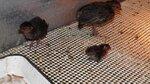 Венценосная куропатка   Rollulus rouloul   Crested partridge