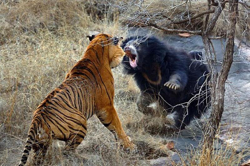 1. Медведица против тигра. Для медведицы Мегги это был обычный день, она отдыхала рядом с водоемом в