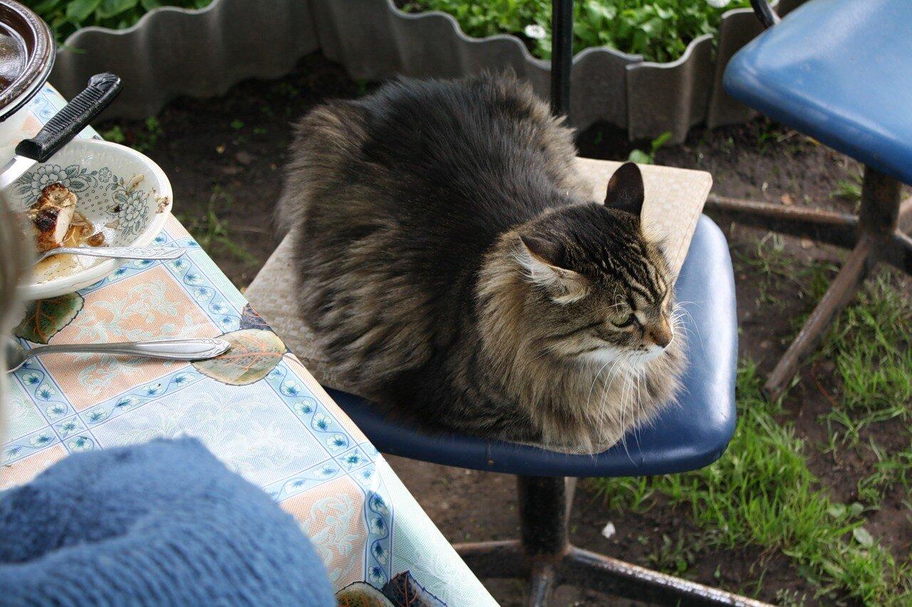 Кот Афоня. Сибиряк, 14 лет, 9 кг.