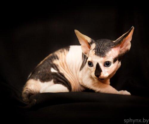 Котик породы Канадский Сфинкс — сгущенка, черно-розовая черепашка.