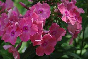 Флоксы, лилии и другие растюхи от amalex 0_63720_870f159c_M