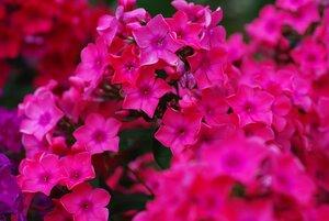 Флоксы, лилии и другие растюхи от amalex 0_657ba_5c5a852e_M