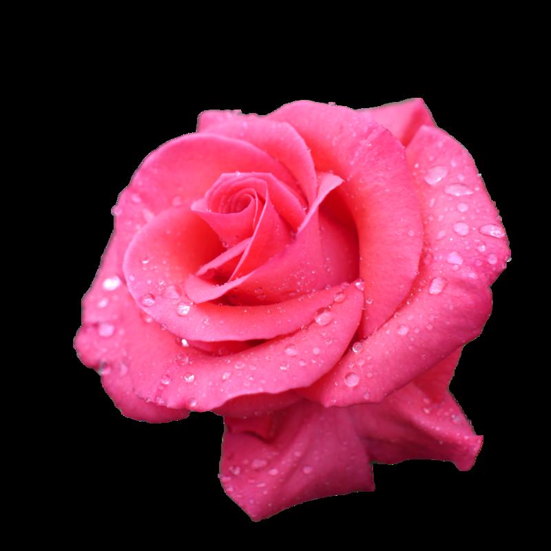 новостью розовые розы фото на прозрачном фоне безостый хороший предшественник