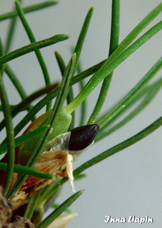 "Maxillaria (Christensonella) vernicosa. Бутон (""чёрный тюльпан"" :-)"