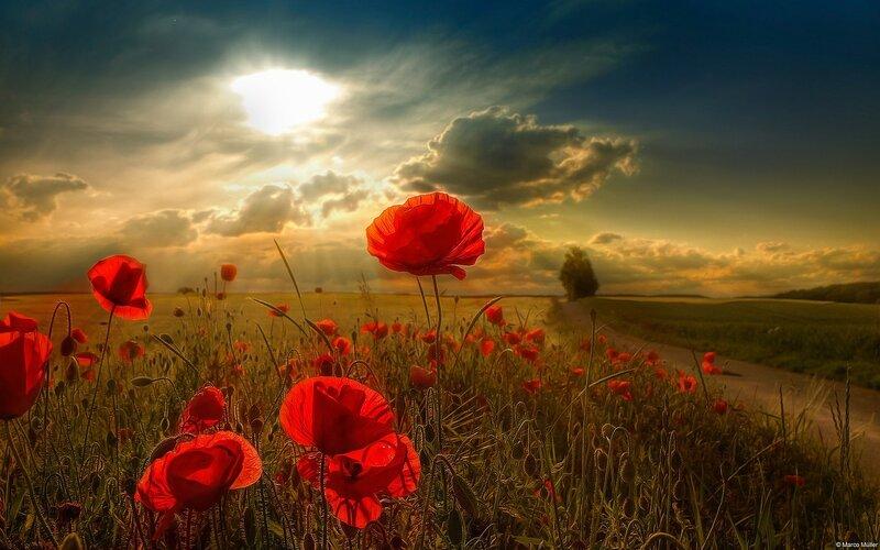 papaver-rhoeas-papoula-de-campo-vermelho-sob-sunbeam-3554x1999.jpg