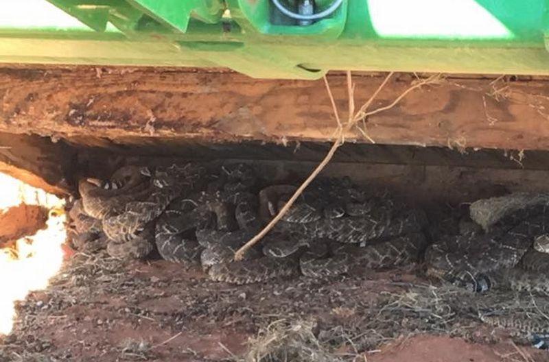 26 гремучих змей под охотничьей хибарой