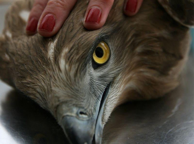 Орел в полоні