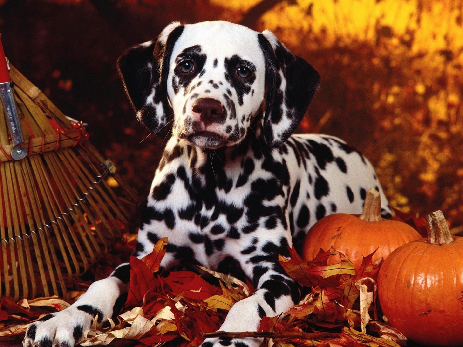 Плямистий пес