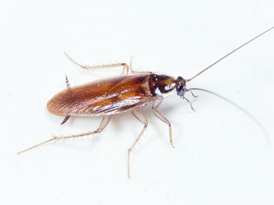 Как выглядит таракан