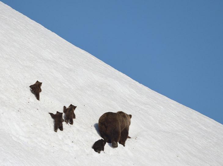 Жизнь медведей на Камчатке (21 фото)