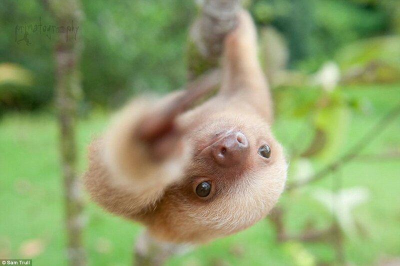 Ленивец на ветке в Коста-Рике. Ещё один умилительный снимок, вошедший в стостраничную книгу фотографий Сэм Тралл.