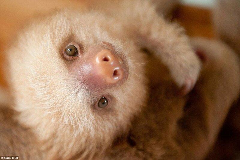 Многие люди отлавливают ленивцев в лесу, чтобы предлагать туристам поиграть с ними за определённую плату. В результате животные погибают от стресса.