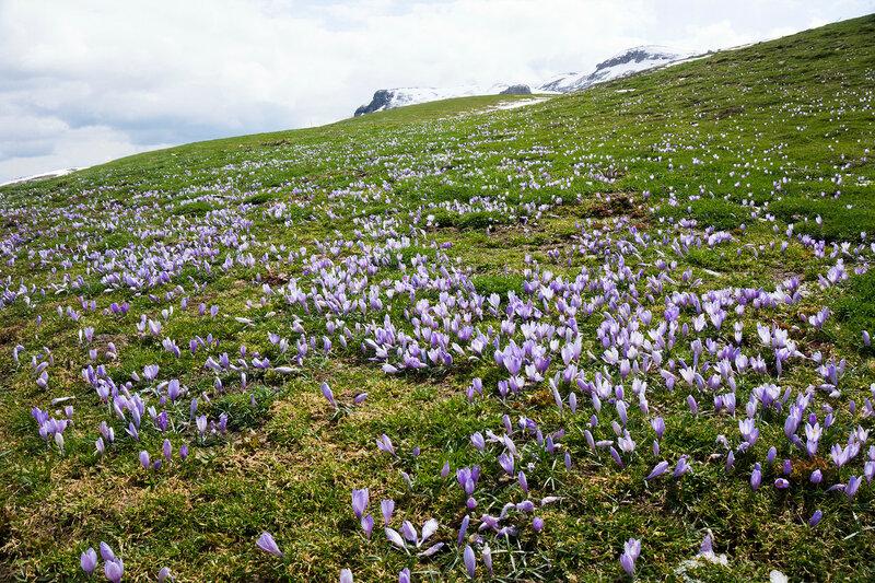крокусы распускаются на альпийских лугах