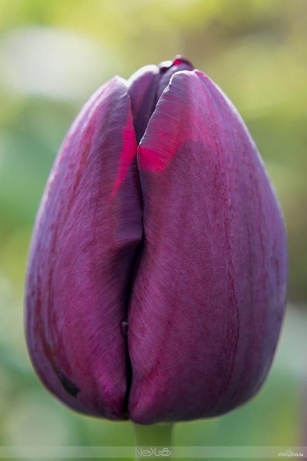 Я люблю все цветы, выпуск #102 | С Днём Рождения, Влад ! | «Чёрные» тюльпаны.