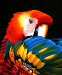 Автор.  Рукоделие.  Вышивка крестиком-Серия Попугаи-12 картин и схем.