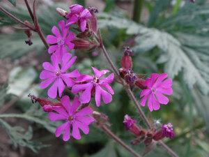 Дрёма лесная (Melandrium sylvestre)Тэг на ЯФ:  Флора Тульской областиДрёма двудомная