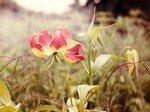 Эфиопия Бахр-Дар цветок - копия.jpg