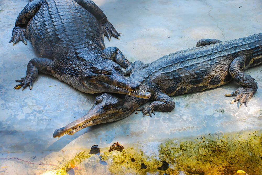 Крокодиловая ферма в Паттайе