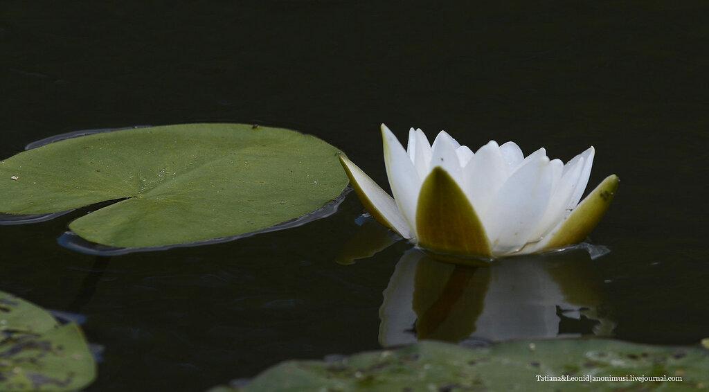 Цветы лотоса