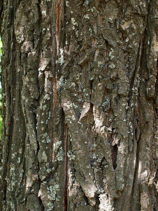 дубовая кора