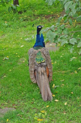 Царственная птица
