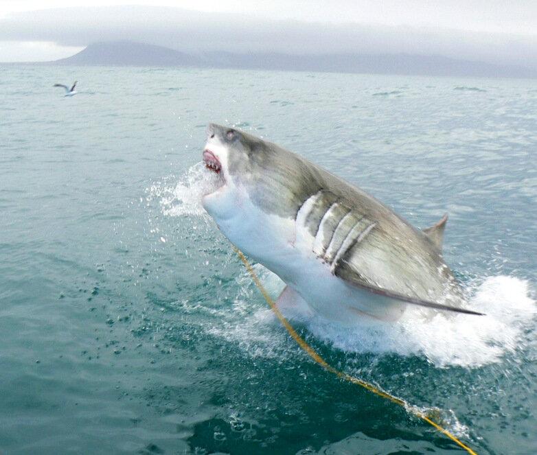 Большая белая акула на охоте 12 фото