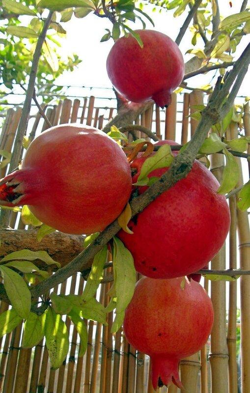 Гранатовая гроздь