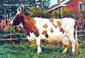 Айширская порода коров