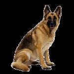 Первой собакой, зарегистрированной как немецкая овчарка, был небольшой...