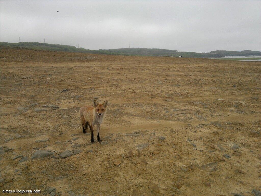 Лиса на острове Русский 29-мая-2014г