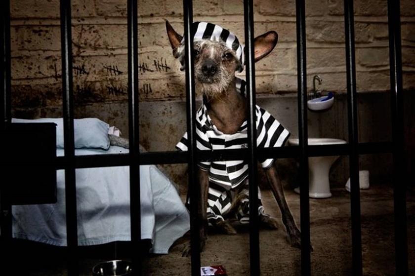 Проект «Чини». Фотографии китайской хохлатой собачки 0 141ab8 a2970d2 orig