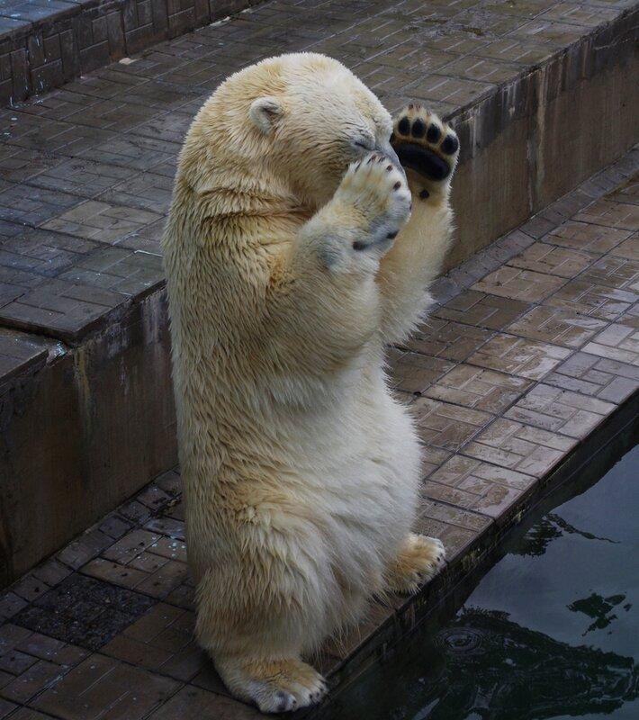 Медвежий фейспалм