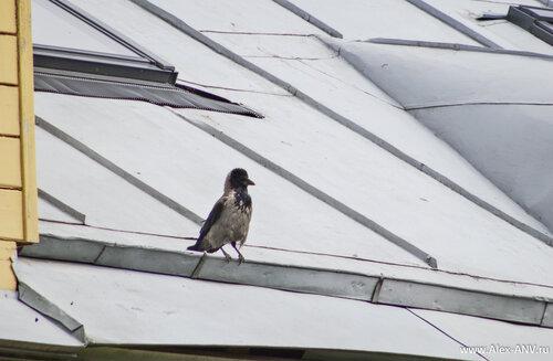 В Ботаническом Саду на удивление много птиц. Вот например ворона обыкновенная нахохленная.
