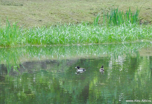 В немногочисленных водоёмах плавают утки.