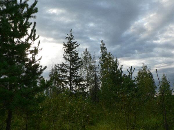 вечерний лес