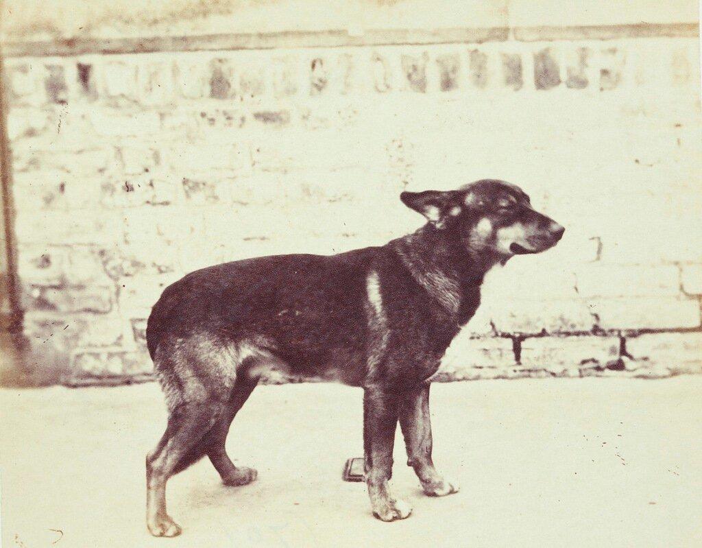 Севастопольская собачка в королевском приюте для животных