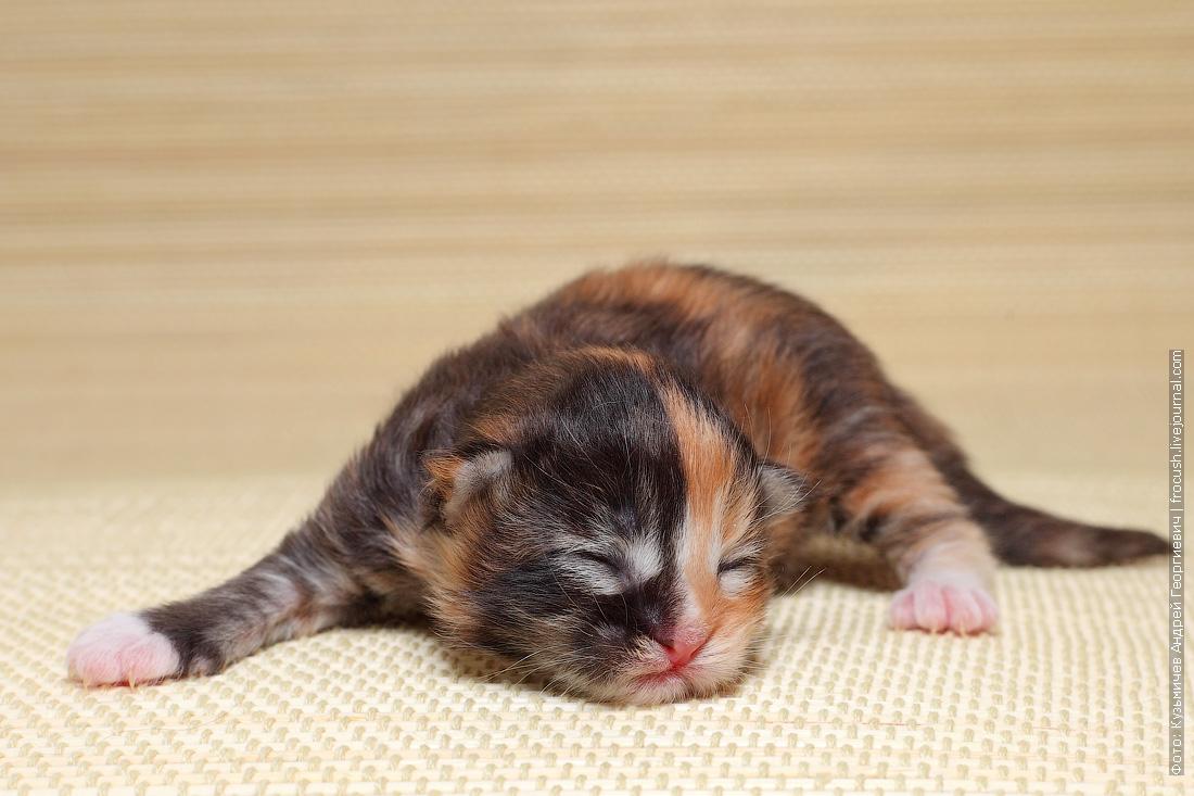 купить в питомнике Мейн-кун котенок