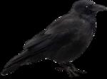 ial_sh_sf_crow.png