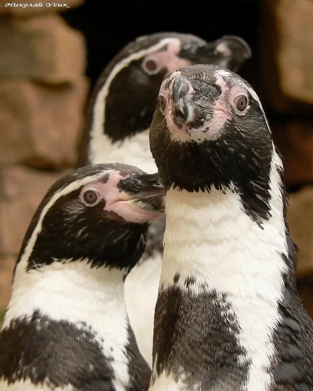 Пингвины Гумбольдта