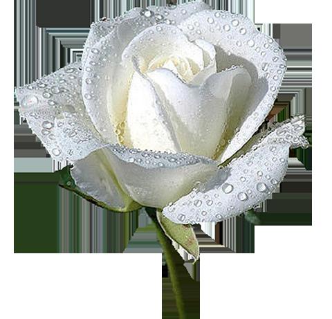 Анимация белые розы на прозрачном фоне